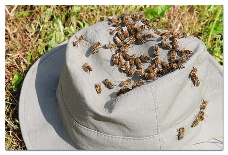 bees-on-hat